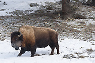 While hiking to Tower Fall I encountered this bison grazing on a hill above me. We stopped and watched each other for a few minutes. At one point he exhaled and his breath was clearly visible in the cold air. That ended up being my favorite bison picture.