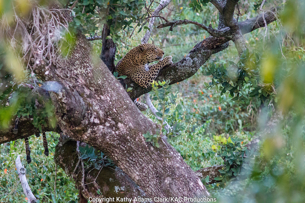 Leopard, Panthera pardus, in a tree, near the Buffalo Luxury Camp, in northern Tanzania.