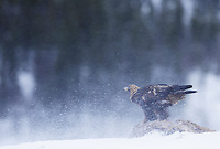 Golden eagle (Aquila chrysaëtos), Flatanger, Norway..