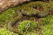 Mang Mountain Pitviper (Trimeresurus mangshanensis) CAPTIVE<br /> ENDEMIC to China<br /> HABITAT & RANGE: Mt. Mang (Mangshan), Pingkeng District, Yizhang County, Hunan Province, China, elevation 700-900 m.   <br /> IUCN STATUS: ENDANGERED SPECIES