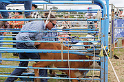 calf ropers in the prepare the rodeo calf for the next roping event at Hellensville Rodeo, Auckland, New Zealand