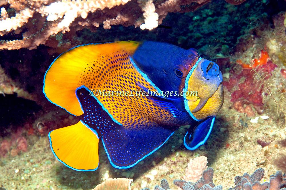 Blue Girdled Angelfish inhabit reefs. Picture taken Lembeh Straits, Sulawesi, Indonesia.