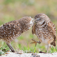Pair of burrowing owls (Athene cunicularia) exhibiting courtship behavior. Male owl affectionately grooms his mate, who appears to be swept off her feet. Image published in Exhibition Gallery of Wild Planet magazine, Issue 35 / Sept. 2016, and named Picture of the Day by Wild Planet on Sept. 8, 2016. NANPA 2017 and 2018 Showcase semifinalist. Finalist, Festival de l'Oiseau et de la Nature 2017. Semifinalist, Denver Audubon Share the View 2016 and 2017.