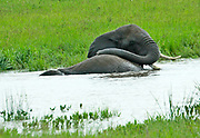 Tanzania wildlife safari. African Bush Elephants bathing in a water hole