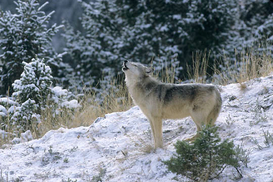 Gray Wolf, (Canis lupus) Howling. Rocky mountains. Montana.Winter.Captive Animal.