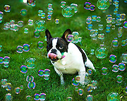 Lola, a French bulldog is surrounded by bubbles in Sacramento, California
