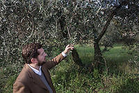 CALENZANO, ITALY - 24 NOVEMBER 2014: Olive oil producer Federico Dufour shows withered olives with holes caused by the Bactrocera oleae, an olive fruit fly that this year ravaged his crop, by olive trees in his property in Calenzano, 20 kilometers north of Florence, Italy, on November 24th 2014.<br /> <br /> The olive harvest was practically non-existent this fall in Calenzano because of the Bactrocera oleae, an olive fruit fly that this year ravaged entire olive crops. Italy's Institute of Services for Agriculture and Food Market, or ISMEA, calculated that olive oil production fell on average by 35 percent from 302,000 tons from 463,000 the previous year.