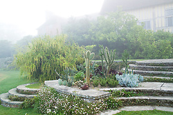 Misty summer morning at Great Dixter with cacti and succulents planted outside for the summer in a bed on the circular steps. Itea ilicifolia in full flower beyond. House shrouded in mist.