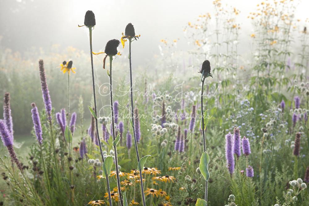 The Meadows and prairies with plants including Rudbeckia maxima, Silphium laciniatum (Compass plant), Eryngium yuccifolium, Aster nove-angliae  and Rudbeckia cv. Tom Stuart-Smith's Barn Garden