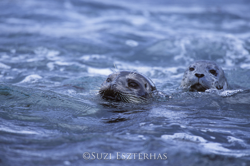 Pacific Harbor Seal<br /> Phoca vitulina<br /> Mother and young pup in water<br /> Point Lobos State Reserve, CA