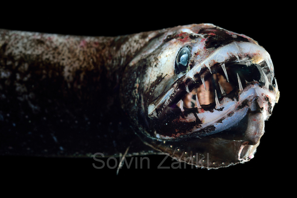 [captive] Scaly dragonfish or boa dragonfish (Stomias boa), deep sea fish, Atlantic Ocean, close to Cape Verde | Schuppendrachenfisch (Stomias boa)