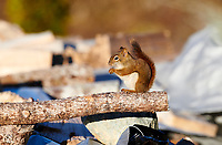 Red Squirrel (Tamiasciurus hudsonicus)  Cherry Hill, Nova Scotia, ,