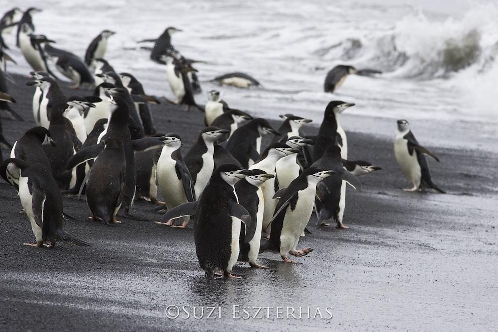 Chinstrap Penguin<br /> Pygoscelis antarctica<br /> On shore headed out to sea<br /> Bailey Head, Deception Island, Antarctica