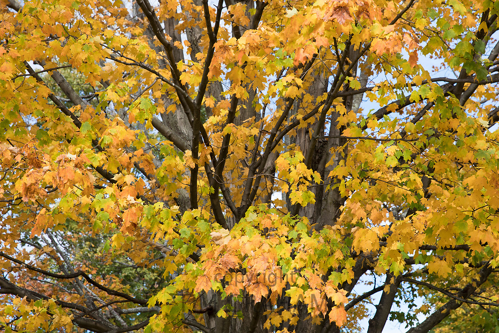 Leaves and branches and Fall colours of Maple tree - Acer saccharum - in Vermont, New England, USA