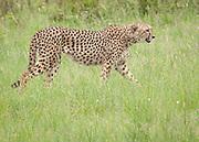 Cheetah, Acinonyx jubatus,<br /> Huluhulwe Game Reserve,<br /> South Africa