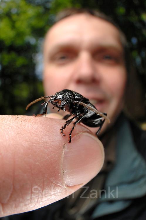 Großer Breitkäfer (Abax parallelepipedus) auf dem Finger von Dr. Wolfgang Beier - Käferexperte