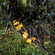 Munkedal 2010 <br /> Kantarell svamp svampar kantareller plocka svamp skog promenad gula kantareller<br /> <br /> <br /> FOTO : JOACHIM NYWALL KOD 0708840825_1<br /> COPYRIGHT JOACHIM NYWALL<br /> <br /> ***BETALBILD***<br /> Redovisas till <br /> NYWALL MEDIA AB<br /> Strandgatan 30<br /> 461 31 Trollh&auml;ttan<br /> Prislista enl BLF , om inget annat avtalas.