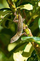 Cuban Brown Anole (Anolis sagrei sagrei), in garden shrubs, Wellington, Florida, USA   Photo: Peter Llewellyn