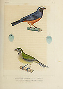 hand coloured sketch Top: rufous-bellied mountain tanager or rufous-bellied saltator (Pseudosaltator rufiventris) [Here as Saltator rufiventris]) Bottom:  Green-winged Saltator (Saltator similis) From the book 'Voyage dans l'Amérique Méridionale' [Journey to South America: (Brazil, the eastern republic of Uruguay, the Argentine Republic, Patagonia, the republic of Chile, the republic of Bolivia, the republic of Peru), executed during the years 1826 - 1833] 4th volume Part 3 By: Orbigny, Alcide Dessalines d', d'Orbigny, 1802-1857; Montagne, Jean François Camille, 1784-1866; Martius, Karl Friedrich Philipp von, 1794-1868 Published Paris :Chez Pitois-Levrault et c.e ... ;1835-1847