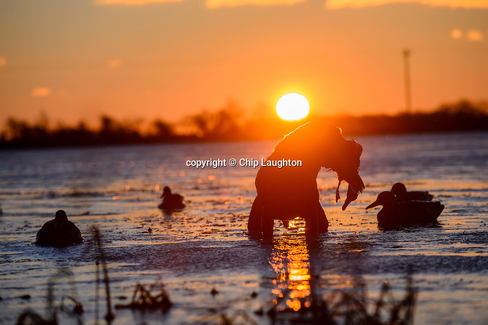 duck hunting stock photo image