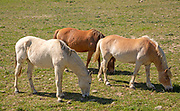Three horses ponies grazing in a field in Portugal