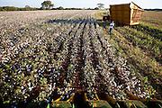 Canapolis_MG, Brasil...Plantacao de algodao em Canapolis...The cotton farmers in Canapolis...Foto: LEO DRUMOND / NITRO