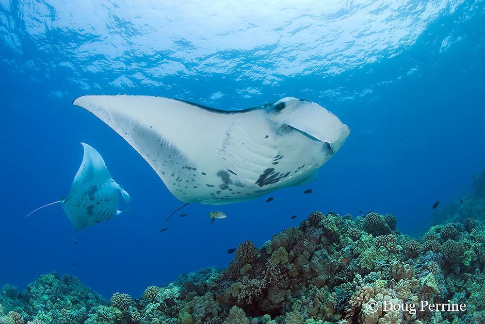 manta rays, Manta birostris, at cleaning station, Kona, Hawaii ( Central Pacific Ocean )