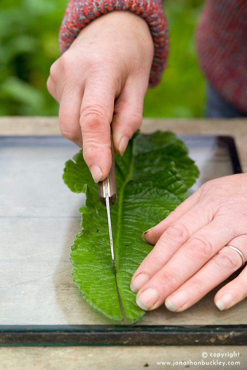 Taking leaf cuttings from streptocarpus using the Vein Cuttings method<br /> Slicing in two lengthwise using a shapr knife on a sheet of glass