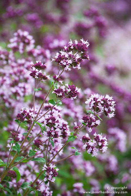Origanum vulgare - Oregano. English marjoram, Pot marjoram, Grove marjoram, Wild marjoram