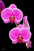 A phaleanopsis orchid grown and bloomed by the photographer.  <br /> <br /> Phalaenopsis are also known as Moth Orchids and are native throughout southeast Asia from the Himalayan mountains to the islands of Polillo, Palawan and Zamboanga del Norte in the island of Mindanao in the Philippines and northern Australia.