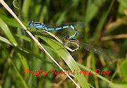 Male and female common blue damselflies in a mating wheel. Converted into an alternative card for Valetines Day.
