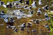 During their mating season the male moor frogs (Rana arvalis) show a distinctive blue coloration. They gather in shallow ponds which quickly warm up in spring.  | Der Moorfrosch (Rana arvalis) trift sich zur Laichzeit zu hunderten in flachen Randbereichen von Teichen und Seen. Selent, Deutschland