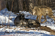Two gray wolves in wooded winter habitat.