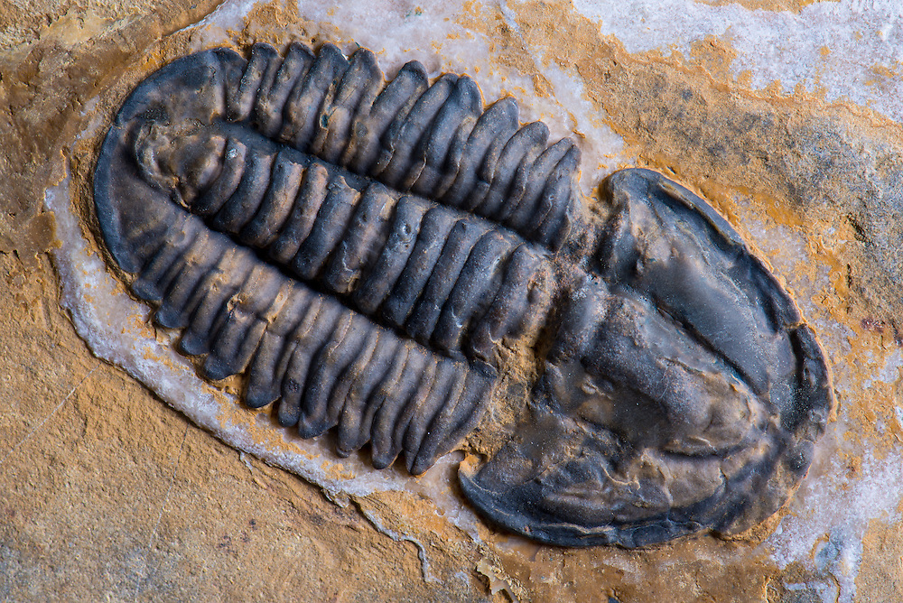 This slightly disarticulated Modocia comforti (sagittal length: 45mm) is a rare Middle Cambrian ptychopariid trilobite collected from the Weeks Formation in the House Range, Millard County, Utah