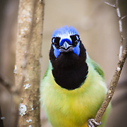 A green jay has a little discussion with the photographer in spring in Texas.