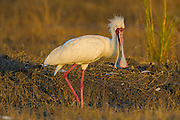 Africa, African Spoonbill (Platalea alba) standing on the land with its beak open and feathers on its head standing up