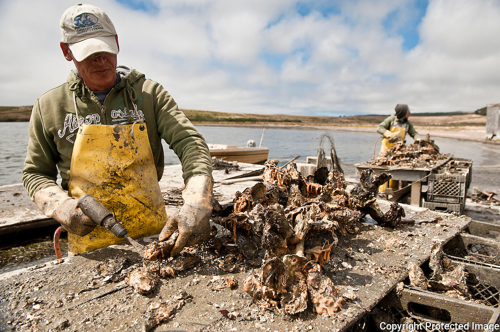 Oyster harvest at Drakes Bay Oyster Company, Point Reyes National seashore, California
