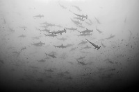 A large school of Scalloped Hammerhead Sharks passes high overhead<br /> <br /> <br /> Shot at Cocos Island, Costa Rica