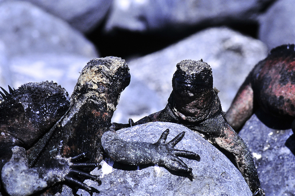The only marine reptile Galapagos Islands