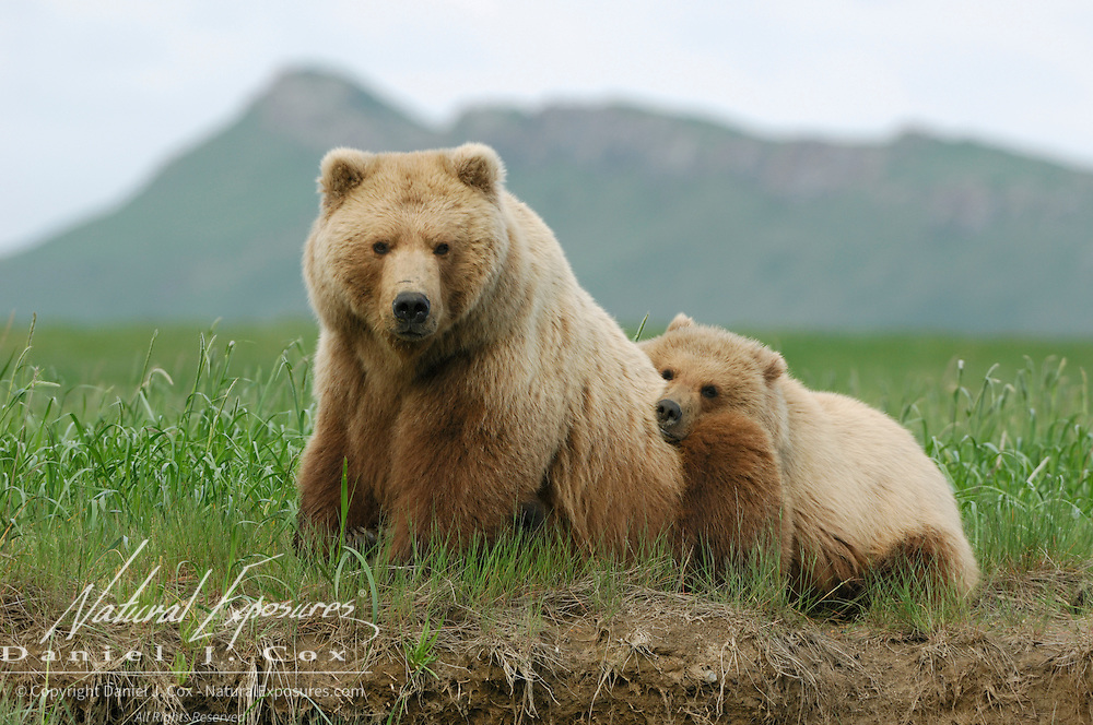 Alaskan Brown Bear (Ursus middendorffi) mother and cub. Katmai National Park, Alaska