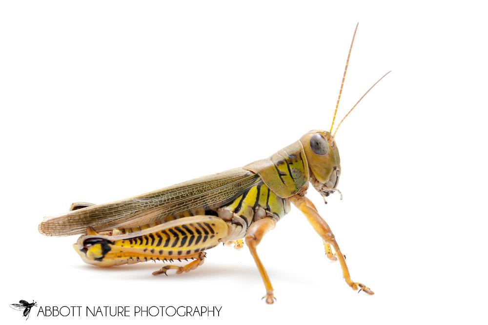 Differential Grasshopper (Melanoplus differentialis nigricans)<br /> TEXAS: Travis Co.<br /> Hornsby Bend Wastewater Treatment Facility off Platt Lane; Austin <br /> 4-6.Oct.2011 N30.232028 W97.644611<br /> J.C. Abbott #2556 &amp; K.K. Abbott