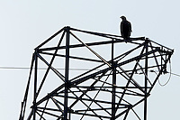 White tailed sea eagle, Haliaeetus albicilla, on a power pylon in the Stettin lagoon, Poland, Oder river delta/Odra river rewilding area, Stettiner Haff, on the border between Germany and Poland