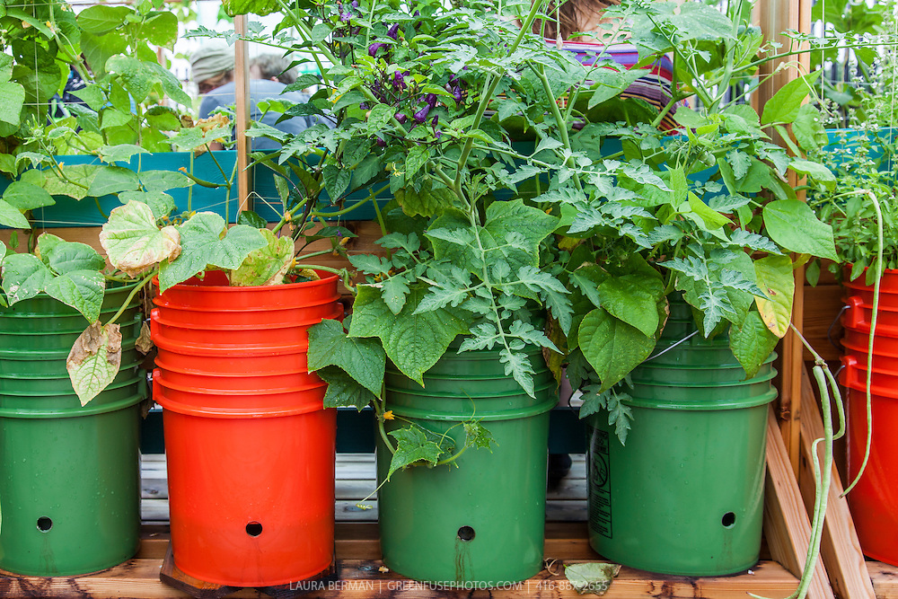 Subirrigated pails in a rooftop container garden