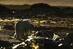 Polar bear (Ursus maritimus) in water spray at Storøya in September, Svalbard, Norway