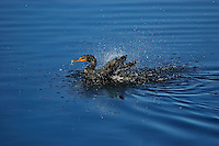 Freeze-frame photo of a double-crested cormorant  shaking water from its feathers just after a dive on Sanibel Island, Florida.