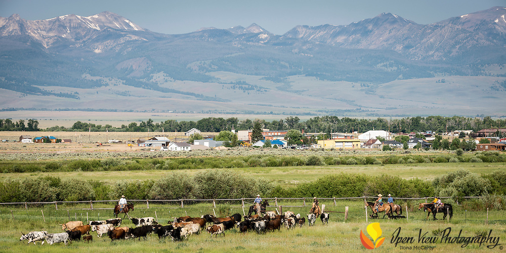 Moving cattle to summer range. Town of Leadore, Idaho in background. Karl Tyler ranch, Lemhi County, Idaho.