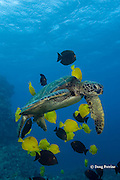 green sea turtle, Chelonia mydas, being cleaned by herbivorous fish that graze algae off of turtle's shell, at cleaning station, Kona, Hawaii ( Central Pacific Ocean ); cleaner fish are yellow tangs, Zebrasoma flavescens, and gold-ring surgeonfish, Ctenochaetus strigosus