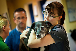 Nurse holds and comforts a dog being prepared for an operation at Rushcliffe Veterinary Surgery, Nottingham, UK.