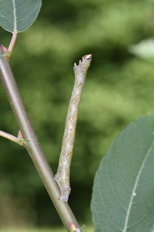 Peppered Moth - Biston betularia