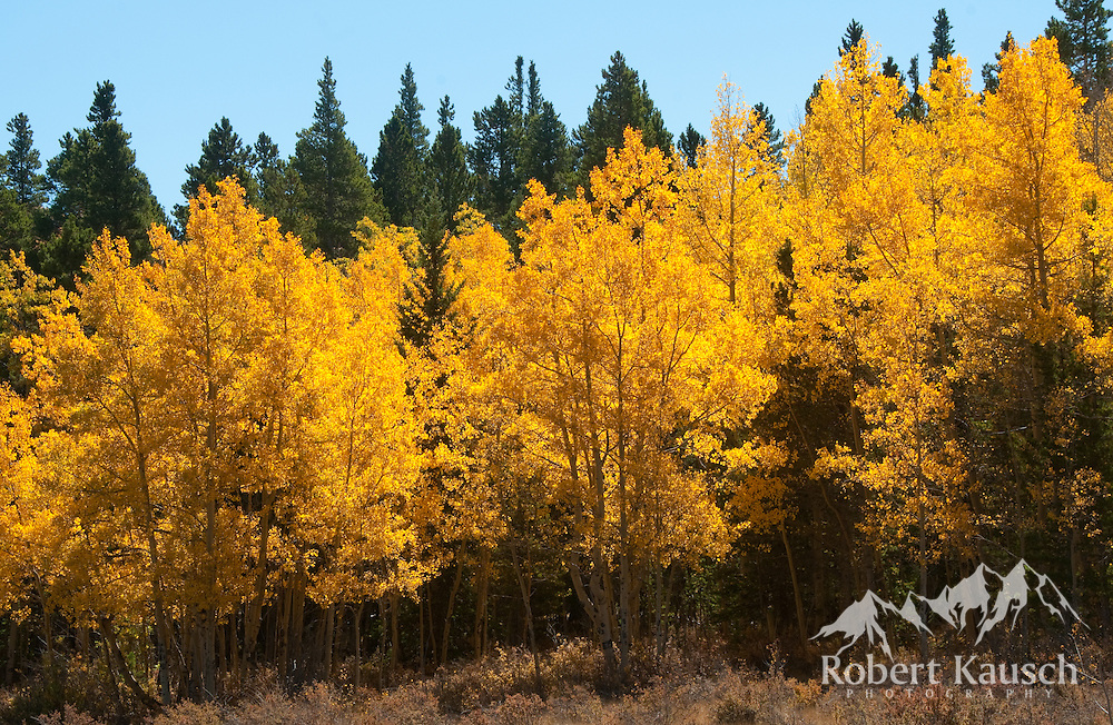 A lovely stand of aspens on Kenosha Pass